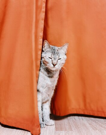 Funny cute cat sleeping and sitting between the curtains at home.