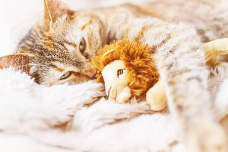 Cute domestic ginger cat lying on fur blanket and embracing soft toy lion. Stok Fotoğraf