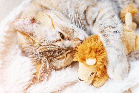 Cute tabby ginger kitten lying on fur blanket and embracing soft toy lion.