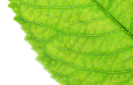 Nature background of bright fresh green leaf texture, close-up.