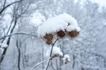 diuretic: Burdock Arctium tomentosum covered with snow in winter