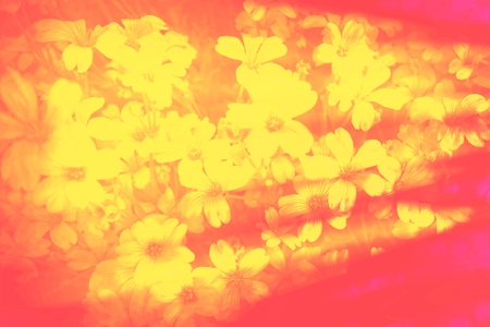 smudge: Yellow gypsophila flower smudge blurred soft romantic floral intensive red abstract background Stock Photo