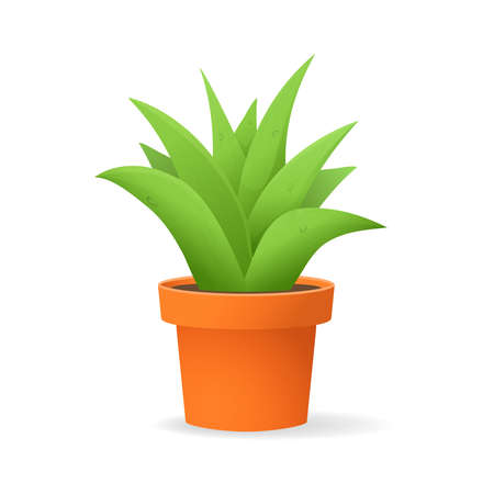 Aloe vera in a pot.Plant succulent leaves isolated on a white background.
