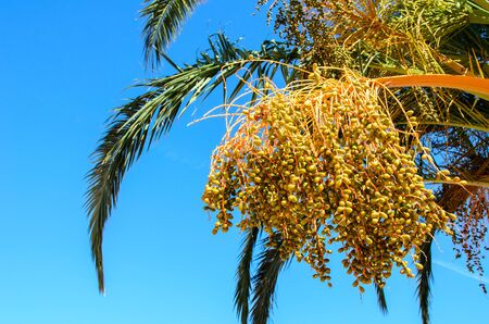 riped: Riped date Fruits cluster hanging on a palm tree.