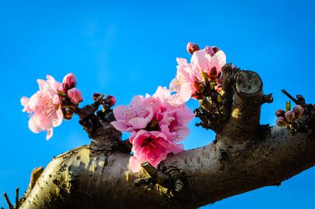 Rows of blooming peach trees 写真素材