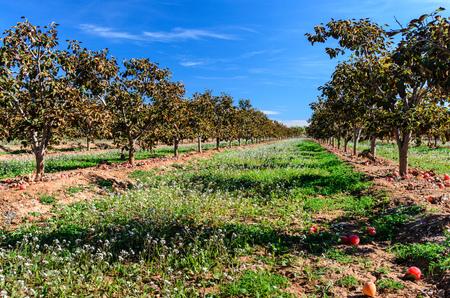 Persimmon tree field