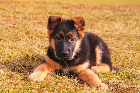 german shepherd on the grass: Portrait of a german shepherd puppy