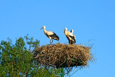 Stork family at nest on the blue background