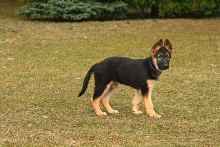Portrait of a german shepherd puppy dog Stock Photo - 5150244