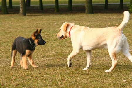 German shepherd puppy playing with a golden retriever Stock Photo