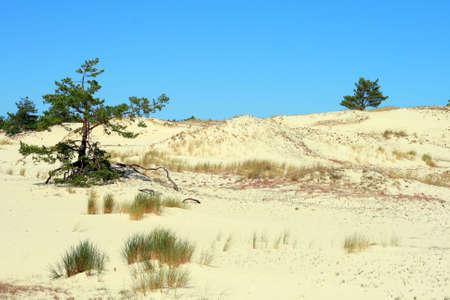 Sand dunes and trees at Leba - Poland photo