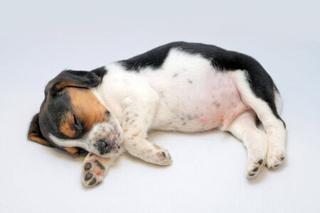 Cute tri-colored beagle puppy sleeping on the white background
