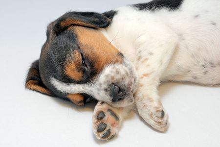 Cute tri-colored beagle puppy sleeping on the white background photo