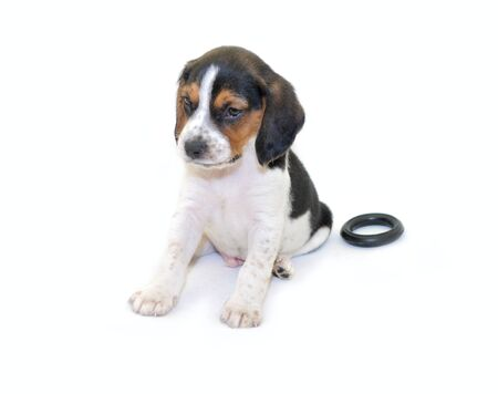 Tri-color beagle puppy sitting Stock Photo