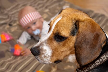 Baby boy plays with a beagle dog Stock Photo