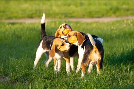 Happy beagle dogs in a park photo