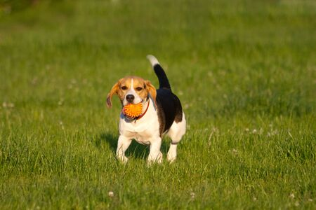 Happy beagle dog plays with a ball in a park Stock Photo