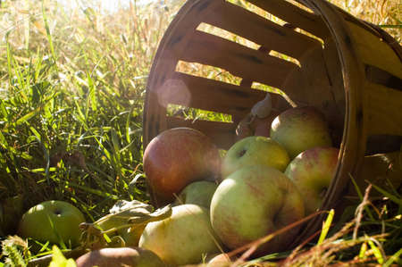 Fresh picked apples in Autumn