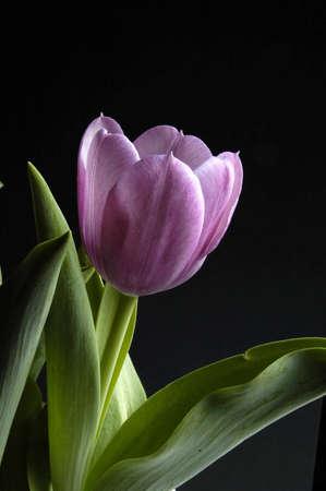 Purple Tulip on a black background Stock Photo