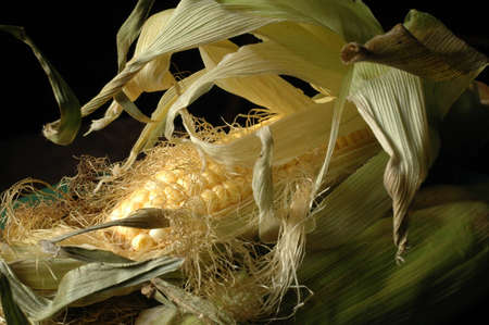 Close up of ear of corn in husk