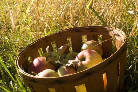 Bushel basket full of fresh picked apples