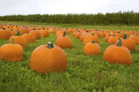 Pumpkins in field Stock Photo
