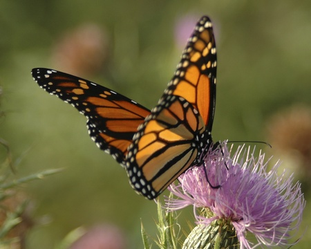 Monarch butterfly on Thistle Stock Photo