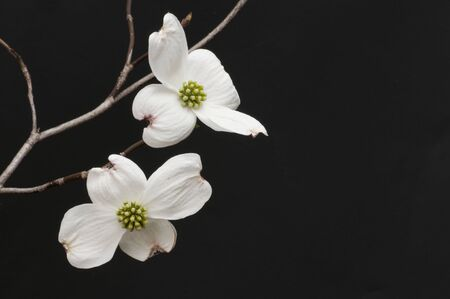 dogwood tree: Branch of white dogwood blossoms Stock Photo