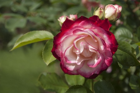 Beautiful pink multi color rose Stock Photo