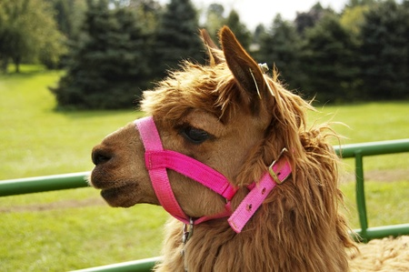 Llama with pink bridle