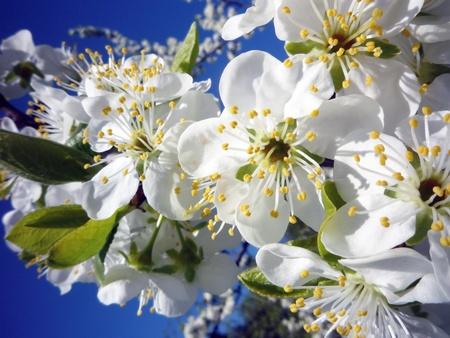 det: cherry blossoms in the sunshine