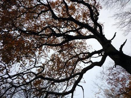 grey  sky: oak high on grey sky background