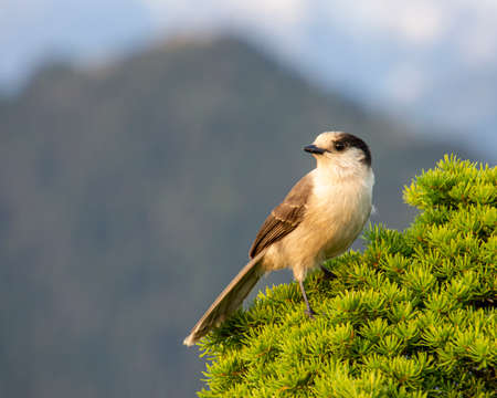 Gray Jay perched on a pine tree. Grayish blue sky in the background due to smoke. Mountain peak is also visible. Cute bird with grey feathers. Close up , autumn pictures Stock Photo