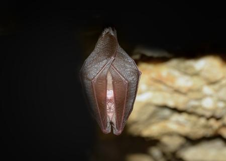 membranes: Greater horseshoe bat( Rhinolophus ferrumequinum)