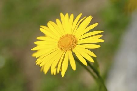 Arnica: Arnica montana