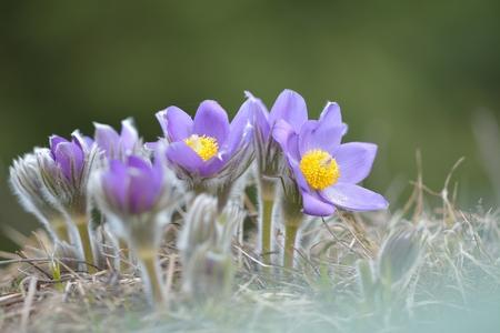 pulsatilla: Mountain Pasqueflower (Pulsatilla montana)