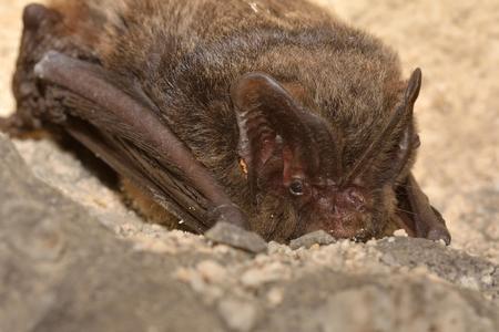 The barbastelle bat (Barbastella barbastellus), western barbastelle hibernation Imagens