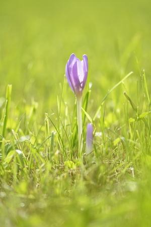assen: crocus (Crocus tommasinianus) blooming