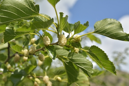 Noni or Morinda citrifolia, great morinda, Indian mulberry, beach mulberry, or cheese fruit on tree.