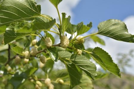 Noni ou Morinda citrifolia, grande Morinda, mûrier indien, plage de mûriers, ou du fromage fruits sur l'arbre.