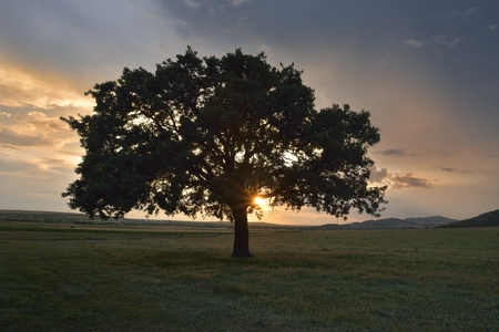 broad leaf: Beautiful and old Oak at the sunset
