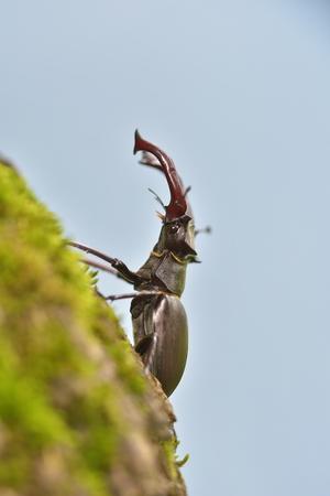 lucanus: Stag beetle, Lucanus cervus