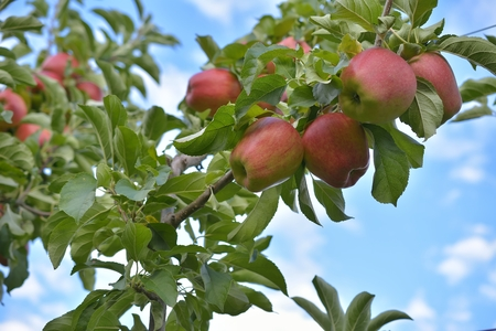 Red apple in the orchard