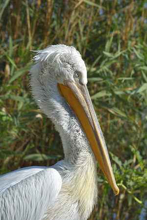 White Pelican (Pelecanus onocrotalus) also known as the Eastern White Pelican