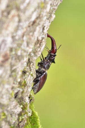 cervus: Stag beetle Lucanus cervus