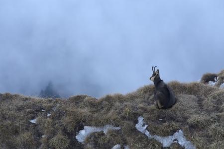 resting: Carpathian chamois resting Stock Photo