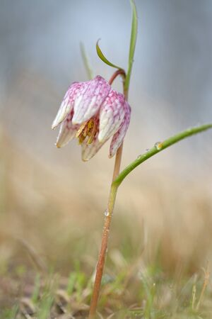 Checkered lily, Fritillaria meleagris close up Stock Photo