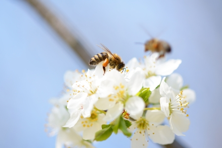 Honey bee in flight approaching blossoming wax cherry  flowers