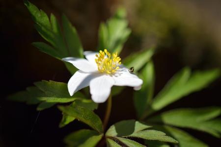 wildwood: Wood anemone (Anemone nemorosa)