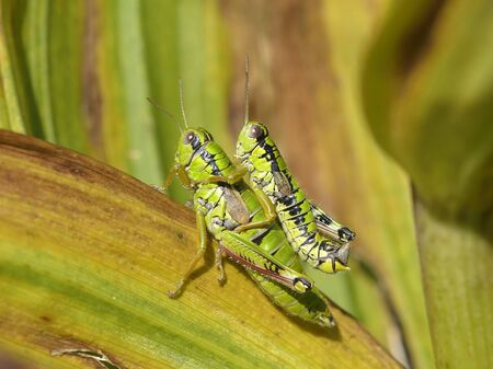 mating: Grasshoppers mating